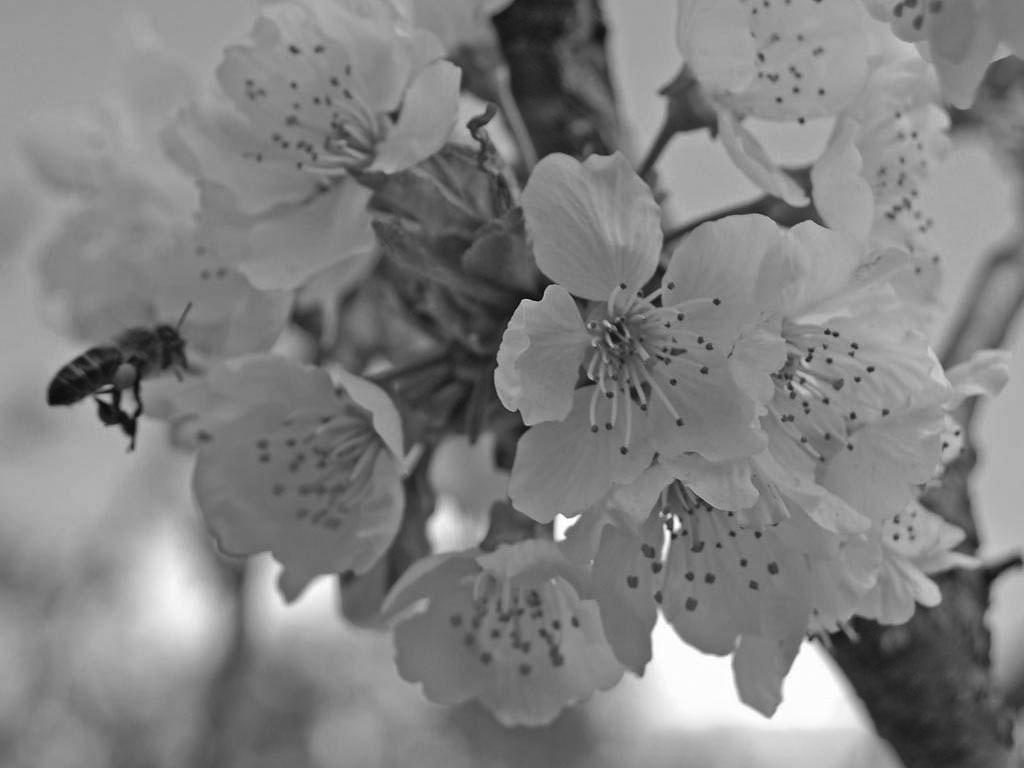 Cvety cheremuhi1